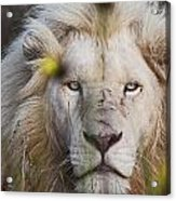 White Lion And Yellow Flowers Acrylic Print