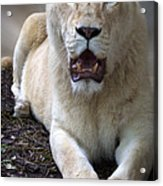 White Lioness Acrylic Print by Elizabeth Hart