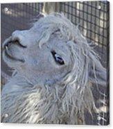 White Llama Acrylic Print