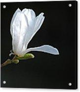 White Magnolia Acrylic Print by Conny Sjostrom
