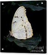 White Morpho Acrylic Print