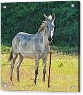 White Mule No.5007 Acrylic Print