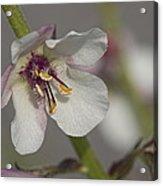 White Mullein - Verbascum Lychnitis Wildflower Acrylic Print