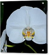 White Orchids 006 Acrylic Print
