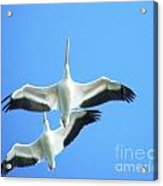 White Pelicans In Flight Acrylic Print