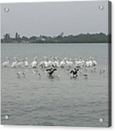White Pelicans Rule Acrylic Print