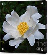 White Peony Flowers Series 4 Acrylic Print