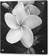 White Plumeria Bw Acrylic Print