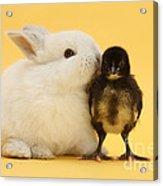 White Rabbit And Bantam Chick On Yellow Acrylic Print