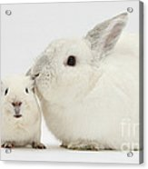 White Rabbit And White Guinea Pig Acrylic Print