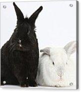 White Rabbit With Black Rabbit Acrylic Print