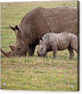 White Rhinocero Grazing Side By Side Acrylic Print