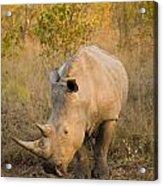 White Rhinoceros Ceratotherium Simum Acrylic Print