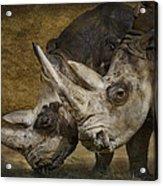 White Rhinos Acrylic Print