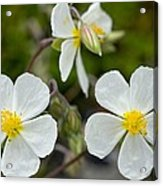 White Rock-rose (helianthemum Apenninum) Acrylic Print