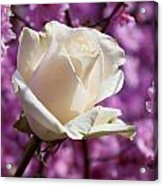 White Rose And Plum Blossoms Acrylic Print by Garry Gay