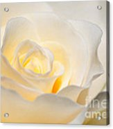 White Rose Blooming Acrylic Print