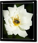White Rose Acrylic Print by Miguel Capelo