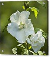White Rose Of Sharon Acrylic Print by Teresa Mucha
