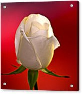 White Rose Red And Black Bg Acrylic Print