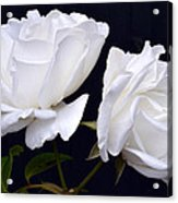 White Rose Twins. Acrylic Print