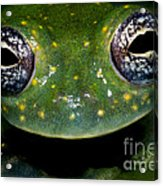 White Spotted Glass Frog Acrylic Print