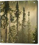 White Spruce In Mist At Sunrise Acrylic Print