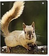 White Squirrel Acrylic Print