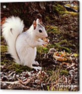 White Squirrel With Peanut Acrylic Print