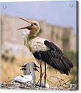 White Stork Ciconia Ciconia, Turkey Acrylic Print by Carson Ganci