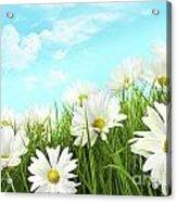 White Summer Daisies In Tall Grass Acrylic Print