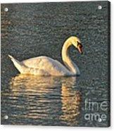 White Swan At Sunset Acrylic Print