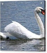 White Swan On A Lake Acrylic Print