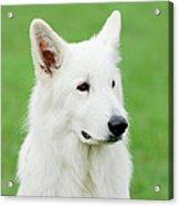 White Swiss Shepherd Dog Acrylic Print