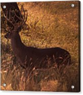 White Tail Buck Acrylic Print by Kelly Rader