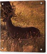 White Tail Buck Acrylic Print