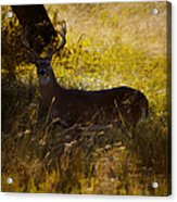 White Tail Acrylic Print