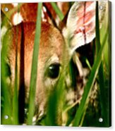 White Tailed Deer Fawn Hiding In Grass Acrylic Print