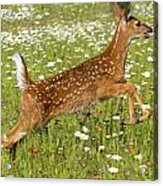 White Tailed Deer Fawn In Field Of Acrylic Print