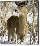 White-tailed Deer In A Snow-covered Acrylic Print