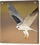 White-tailed Kite Acrylic Print