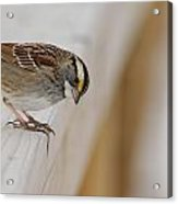 White Throated Sparrow Acrylic Print