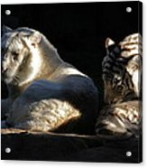 White Tiger And Lion Acrylic Print