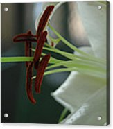 White Tiger Lily II Acrylic Print