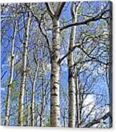 White Trees Against A Blue Sky Acrylic Print