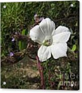 Small White Morning Glory Acrylic Print