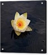 White Water-lily 2 Acrylic Print
