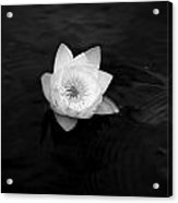 White Water-lily 3 Acrylic Print