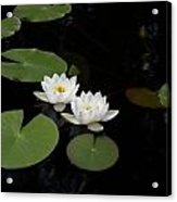 White Water-lily 4 Acrylic Print
