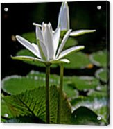White Water Lily Acrylic Print by Lisa  Spencer